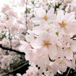 入学式にさくらは咲かない・北海道のお花見時期はいつ?